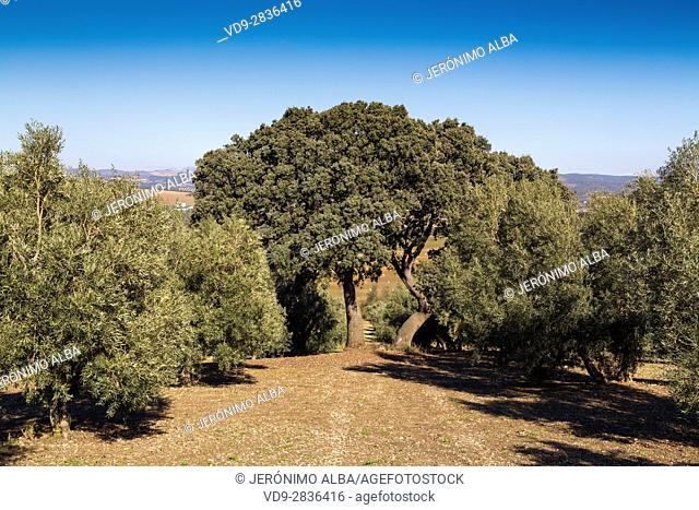 Field of ecological olive trees, Antequera. Malaga. Andalusia southern Spain. Europe