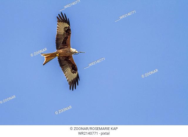 Red kite (Milvus milvus)