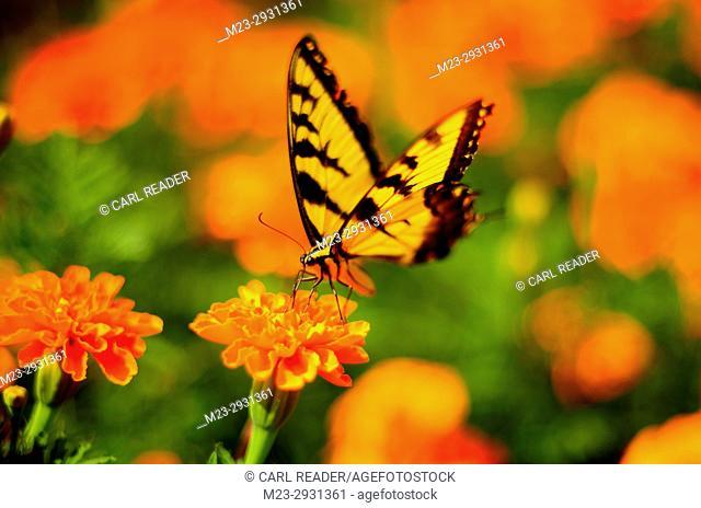 An orange world surrounds a swallowtail butterfly in soft-focus, Pennsylvania, USA