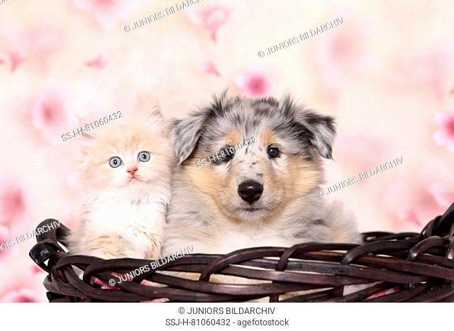 Selkirk Rex and American Collie. Kitten (6 weeks old) and puppy in a basket. Studio picture seen against a light background with Cherry flower print
