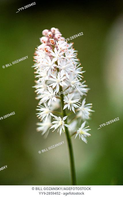 Foam Flower (Tiarella cordifolia) Pisgah National Forest - Brevard, North Carolina, USA