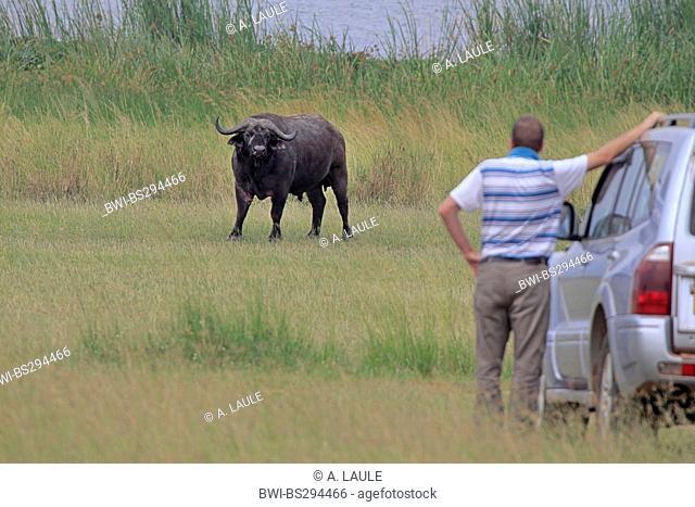 African buffalo (Syncerus caffer), tourist is standing beside the car, Uganda, Murchison Falls National Park