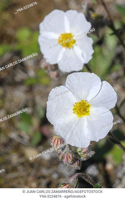 Helianthemum apeninum,white rock rose,flower,chaguarzo,Cistaceae, Miranda de Azan, Salamanca,Castilla y Leon,Spain