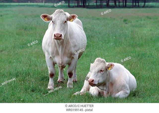 Charolais, cattle