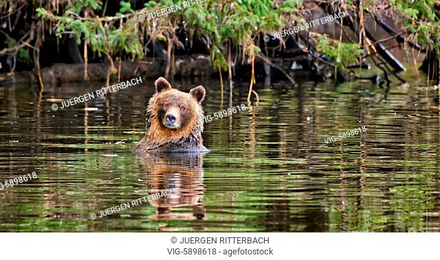 Grizzly bear, Ursus arctos horribilis, Great Bear Rainforest, Knight Inlet, Johnstone Strait, Broughton Archipelago, British Columbia, Canada - Knight Inlet