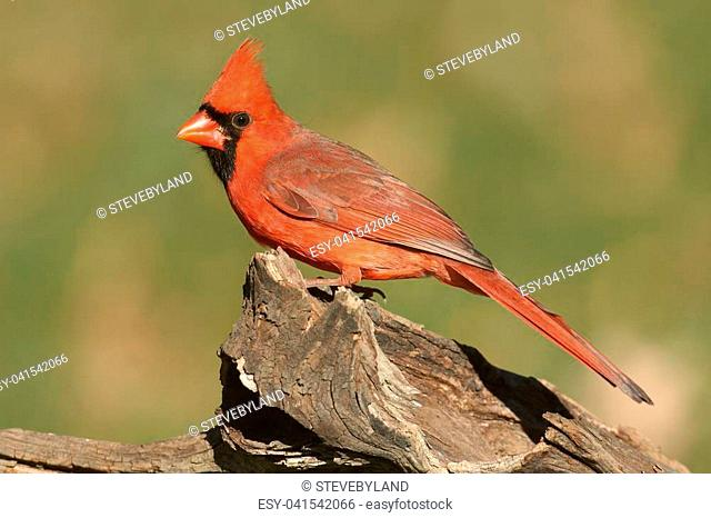 Male Northern Cardinal (cardinalis) on a log with a green background