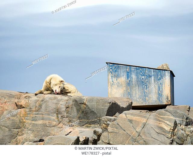 Sled dogs in the town Uummannaq in the north of west greenland. The dogs are still used to pull sleds for the local fishermen during winter