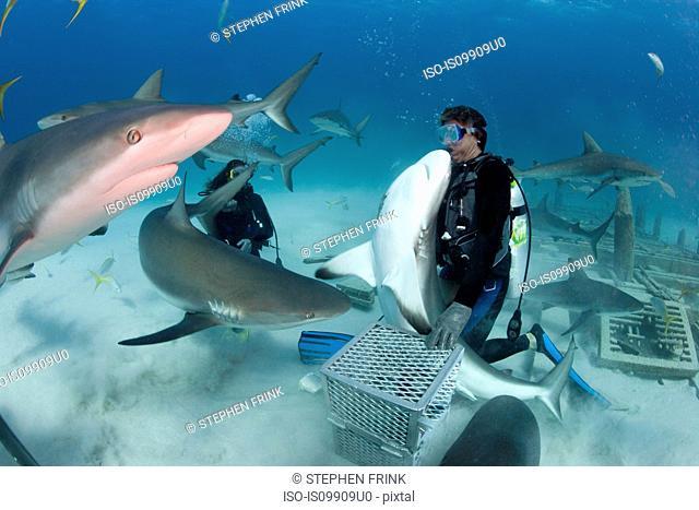 Shark feeding dive