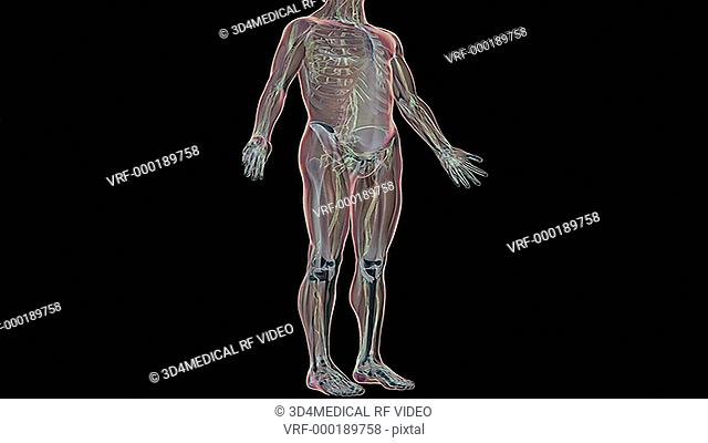 An animation of the lymphatic system relative to the skeleton and surface anatomy of the body