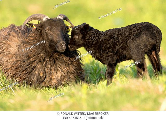 Heidschnucke, moorland sheep (Ovis ammon f.aries) with lamb in meadow, Schleswig-Holstein, Heligoland, Germany