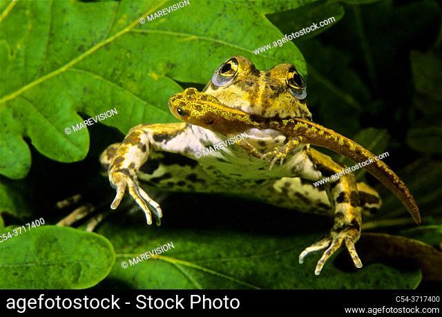 Freshwater Rivers. Perez's frog, Frog, Common Frog, Green frog (Rana perezi) devouring Marbled newt (Triturus marmoratus). Rio Tea. Galicia. Spain