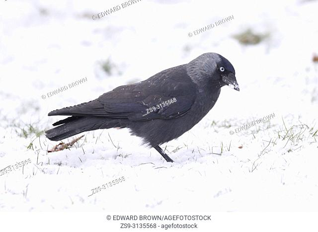 A Jackdaw (Corvus monedula) feeds on a snow covered lawn, East Sussex, UK