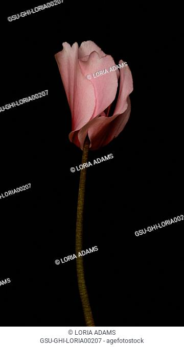 Pink Persian Cyclamen, Cyclamen persicum, Long Stem against Black Background