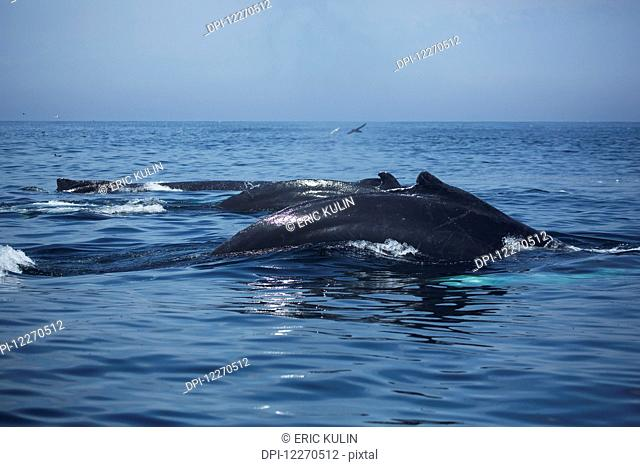 Humpback whales (Megaptera novaeangliae) at the surface of the water; Massachusetts, United States of America