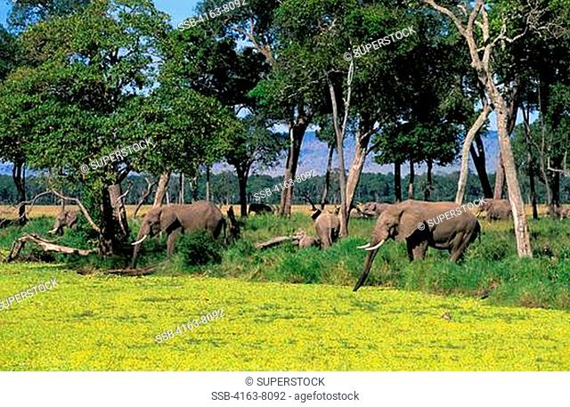KENYA, MASAI MARA, ELEPHANTS DRINKING, POND COVERED WITH WATER CABBAGE