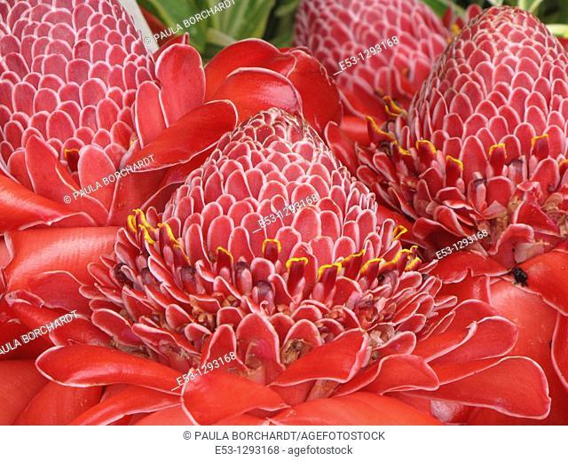 Torch ginger flowers, Farmers' Market, Hilo, Big Island, Hawaii, USA