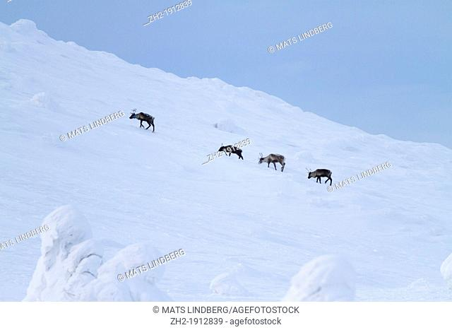 Four reindeers walking on a mountain in winter time
