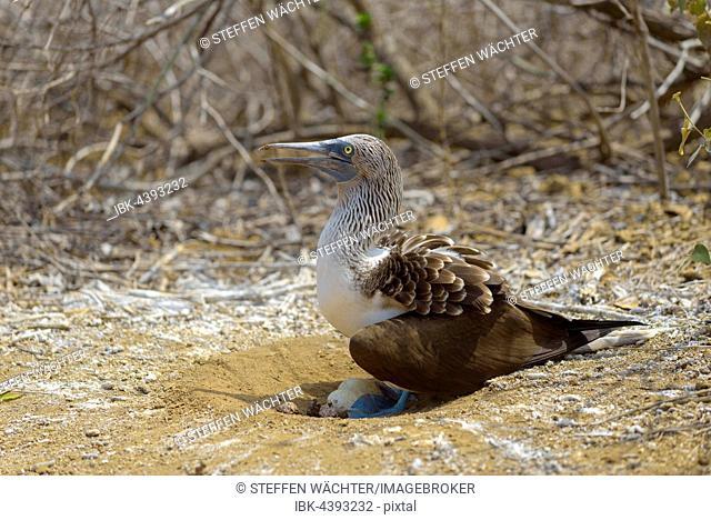 Blue-footed booby (Sula nebouxii) sitting in nest with eggs, brooding, dry vegetation, Isla de la Plata, Machalilla National Park, Manabi Province, Ecuador