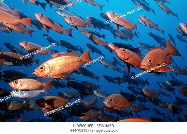 Schooling Crescent-tail bigeyes, Priacanthus hamrur, Maldives Islands, Indian ocean, Ari Atol, Atoll, vertebrate, fish