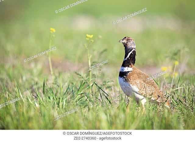 Little Bustard (Tetrax tetrax) male after fighting for control of the lek. Lleida province. Catalonia. Spain