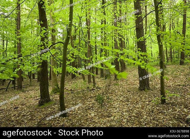 New lush growth on beech trees in spring in a broadleaf woodland at Goblin Combe, North Somerset, England