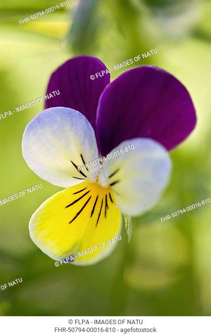 Wild Pansy Viola tricolor close-up of flower, Dorset, England