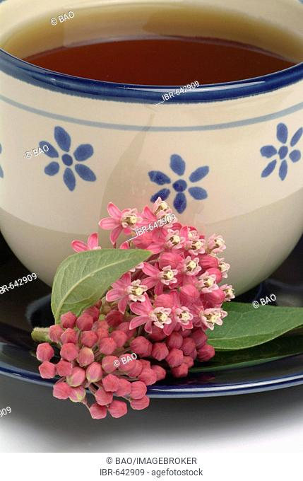 Butterfly Weed, Orange Milkweed or Yellow Swallow-wort (Asclepias tuberosa)