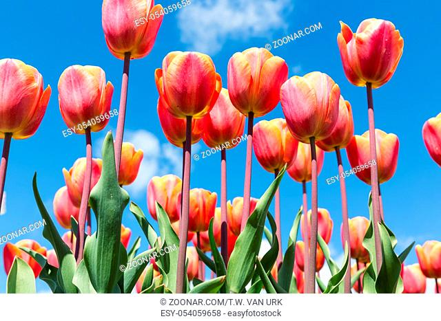 Beautiful bouquet of colorful tulips in spring time with blue sky background