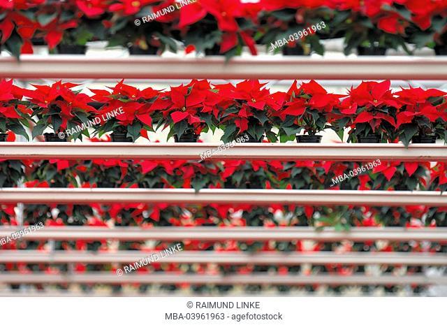 Poinsettia, garden center, greenhouse
