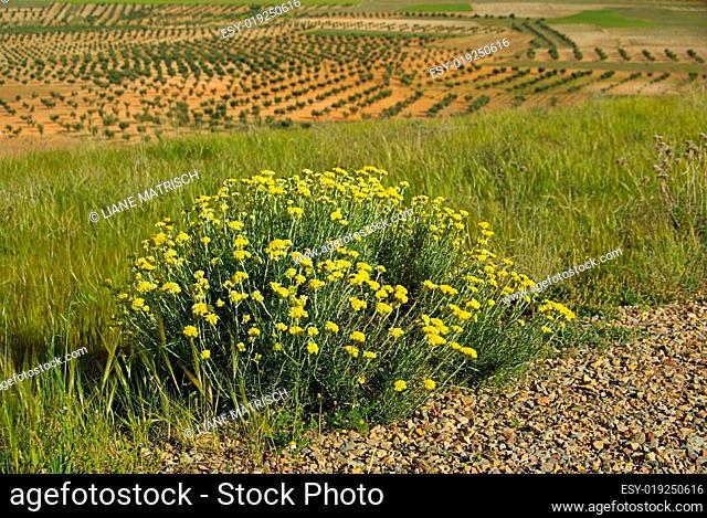 Salbei und Olivenhain - sage and olive grove 01