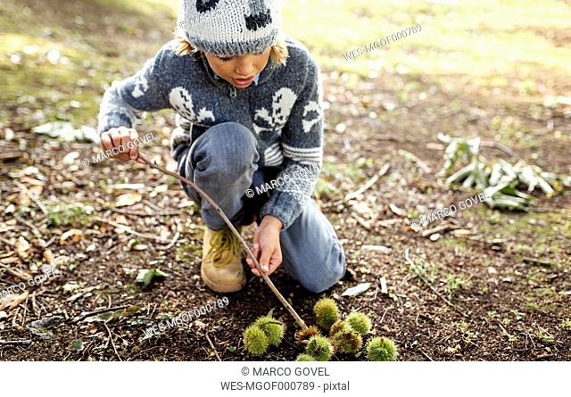 Boy with collected sweet chestnuts