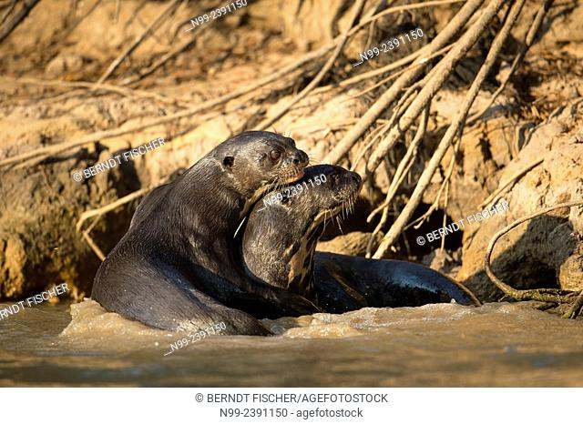 Giant otter (Pteronura brasiliensis), couple, sitting in shallow water. Pantanal, Mato Grosso, Brazil