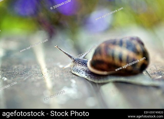 Large Garden Snail in Summer crawling on wooden terrace with water drops in the morning