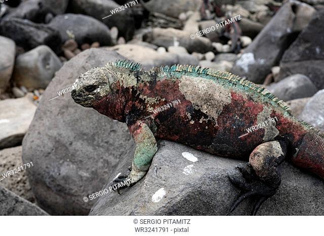 Marine Iguana (Amblyrhynchus cristatus), Punta Suarez, Espanola Island, Galapagos Islands, UNESCO World Heritage Site, Ecuador, South America