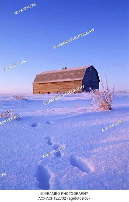 Rabbit tracks in snow lead to barn, early winter morning near Saskatoon, SK