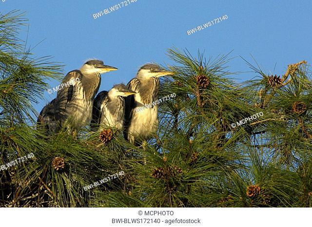 grey heron Ardea cinerea, fledglings on pine