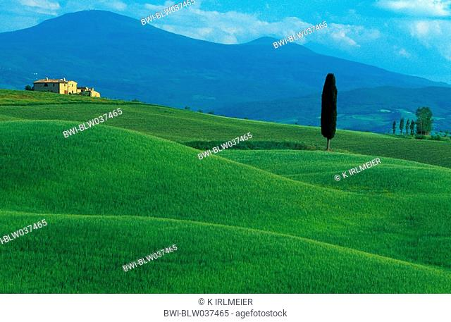 Italian cypress Cupressus sempervirens stricta, typical tuscan hilly landscape with single tree on hill with cottage, Italy, Tuscany, Pienza