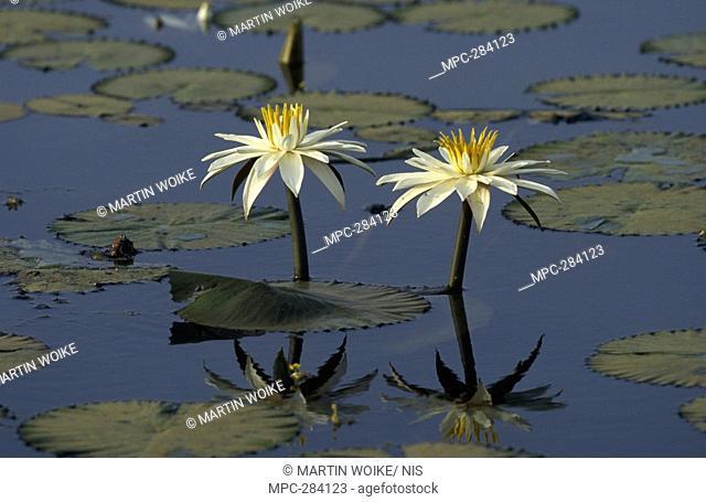 Lotus Water Lily or Sacred Lotus Nymphaea lotus, flowering in pond, medicinal and food plant, worldwide