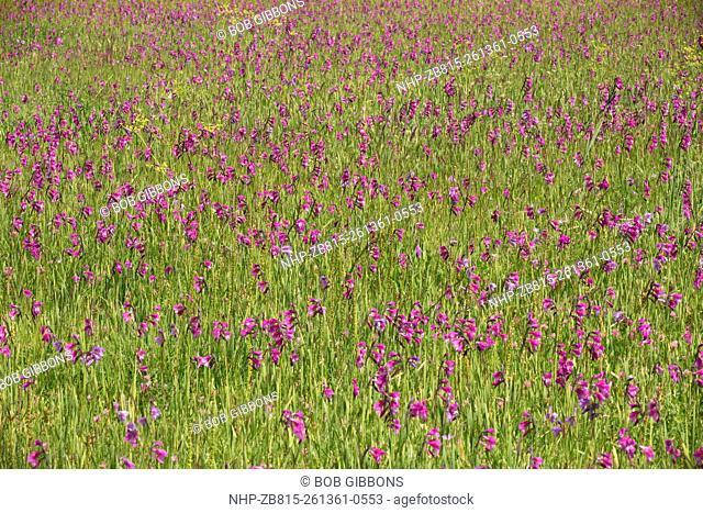 Marsh full of a wild gladiolus, Gladiolus kotschyanus near Cildir, in far eastern Turkey