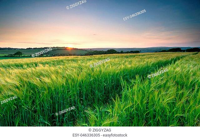 Sunset over a field of lush green barley in the Cornish countryside