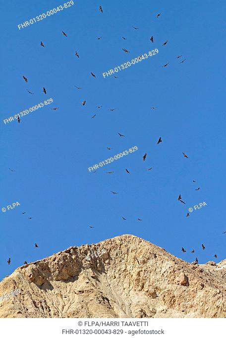 Steppe Buzzard (Buteo buteo vulpinus) flock, in flight, on migration soaring over rocks, Eilat, Israel, March