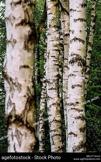 Birches and beeches at the lake Obersee in May