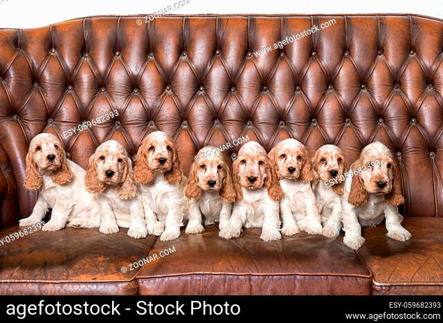 huge family of English Cocker Spaniel with small puppies, posing to camera on Breeding station, descendants of European champions