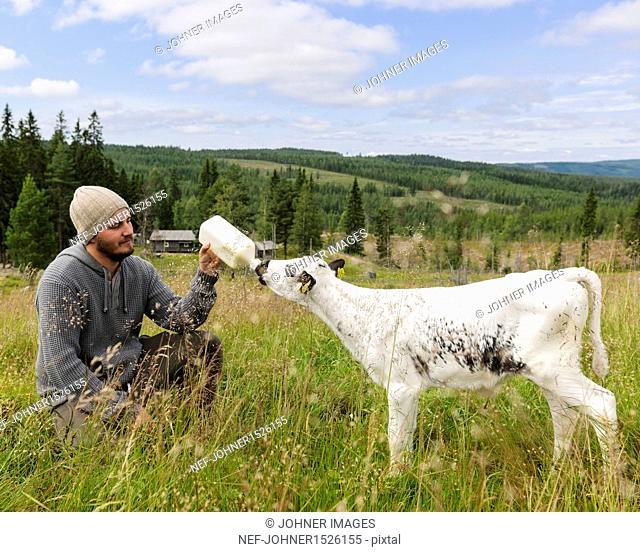 Man feeding calf on pasture