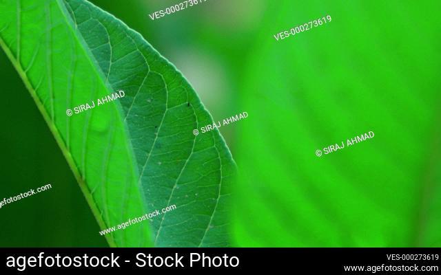 Rack Focus Guava Tree Closeup Shot