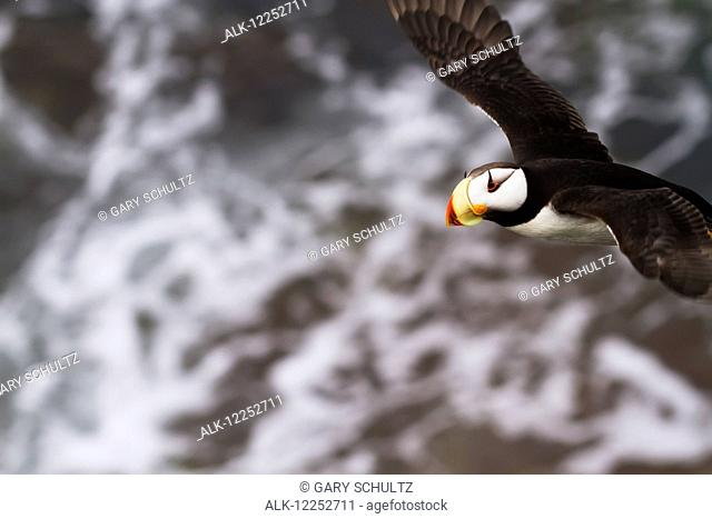 Horned puffin (Fratercula corniculata) in flight over ocean, Walrus Islands State Game Sanctuary, Round Island, Bristol Bay, Western Alaska