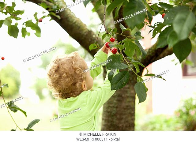 Little girl picking cherry from a tree