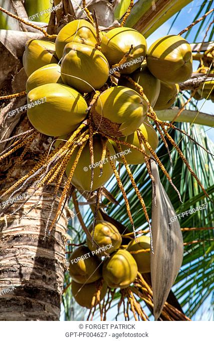 BUNCH OF COCONUTS HANGING FROM A BRANCH OF A COCONUT PALM