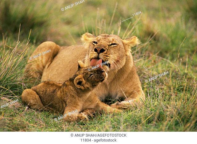 Lioness (Panthera leo) and cub. Masai Mara. Kenya
