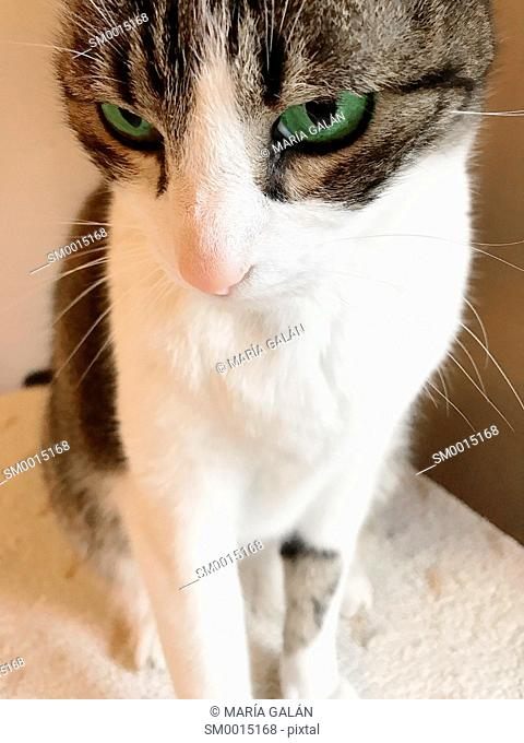 Tabby and white cat sitting. Close view
